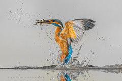 Ijsvogel / King fisher / Martin pêcheur