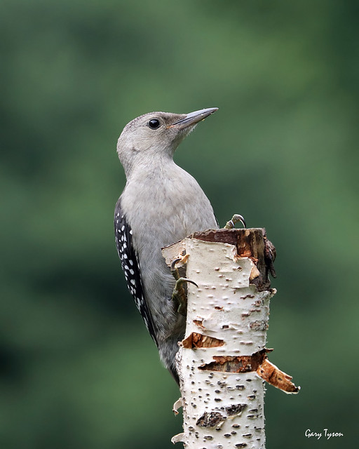 Newly-fledged Red-belllied Woodpecker