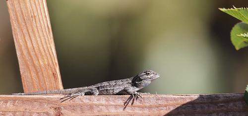 1DX30312 View Large. Lizard. Backyard. Corona California ...