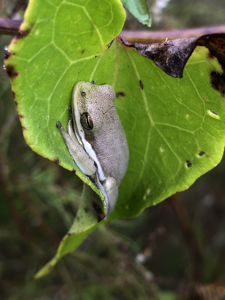 2020.11.27 Green Tree Frog 1