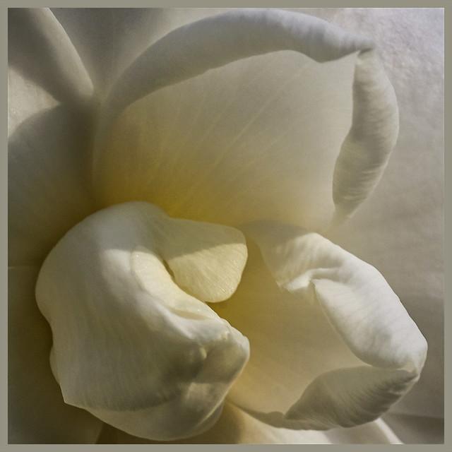 Camellia japonica #1 2020; November Blossom