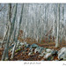 Black Birch Forest