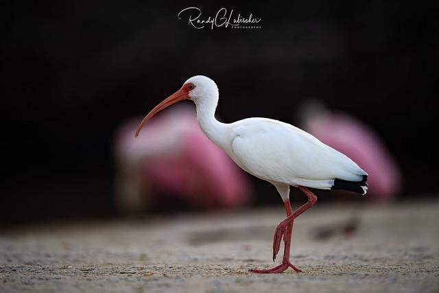 American White Ibis | Eudocimus albus | 2020 - 1