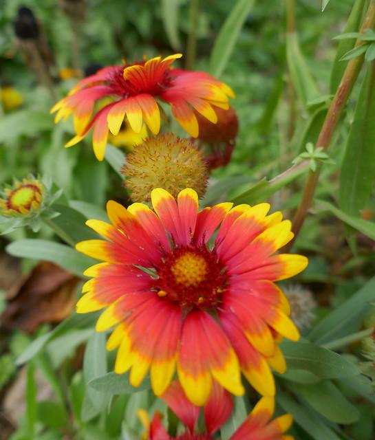 Au jardin, gaillardes mignonnes (Gaillardia Pulchella) , Bosdarros, Béarn, Pyrénées Atlantiques, Nouvelle-Aquitaine, France.