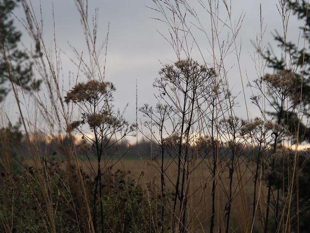 Eupatorium & Grasses