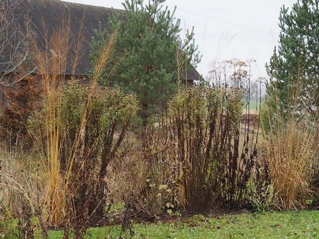 Molinia grasses