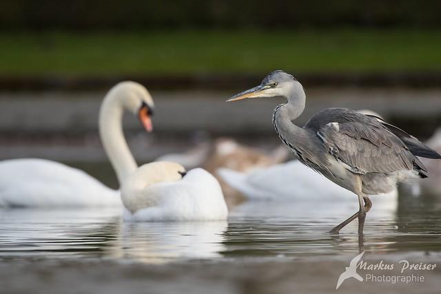 Grey heron and swan  //  Graureiher und Schwäne