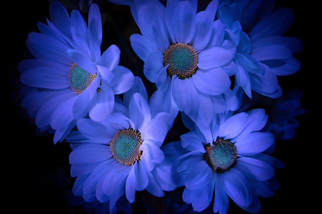 Сhrysanthemums in fluorescence