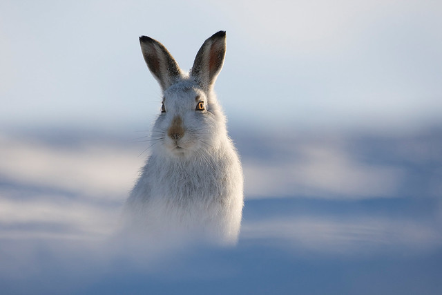 Free Content • Photographing Mountain Hares