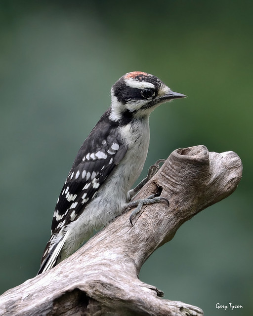 Newly-fledged Downy Woodpecker