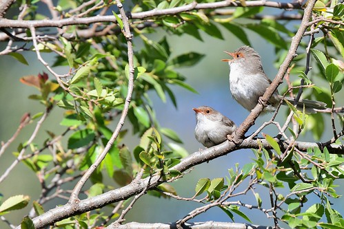 Superb Fairy-wrens ( we are here ) | by friendsintheair