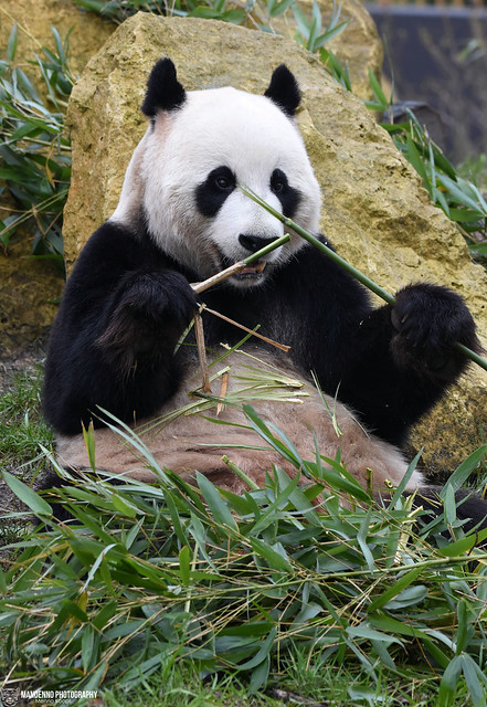 Giant panda - Ouwehands Dierenpark