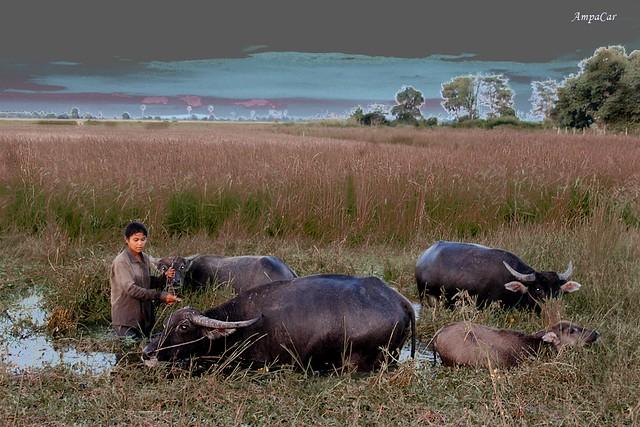 Metida en agua  pero atendiendo a sus  búfalos