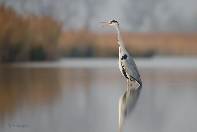 Blauwe Reiger  (Grey Heron)
