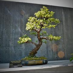 Bonsai - Cork-bark Chinese Elm