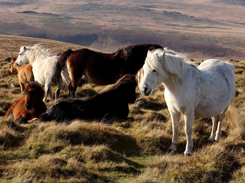 String of Ponies, Cosdon
