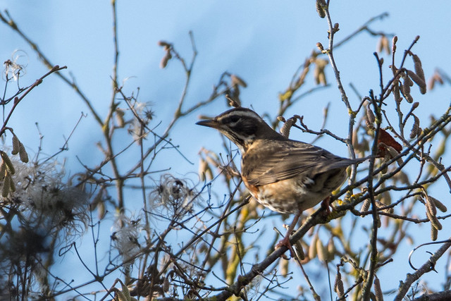 Redwing Turdus iliacus - In The Hedge