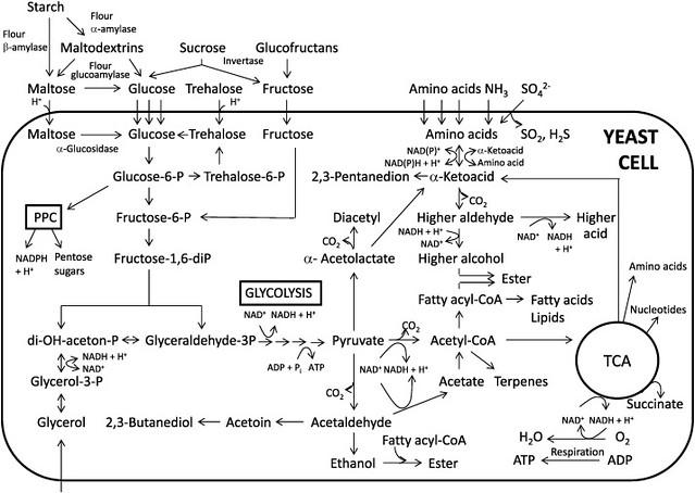 yeast metabolism