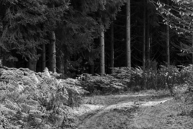 Fern and spruce / Farn und Fichte