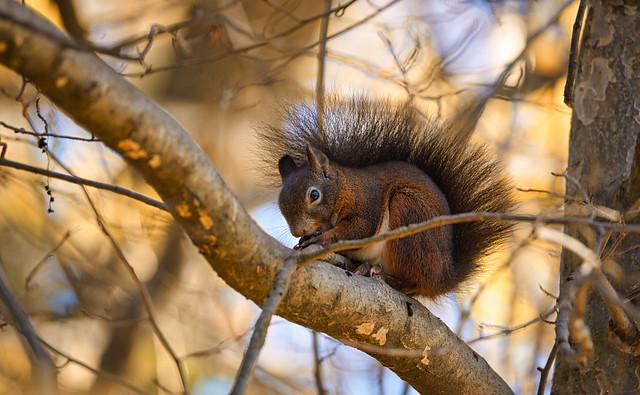 Braunes Eichhörnchen