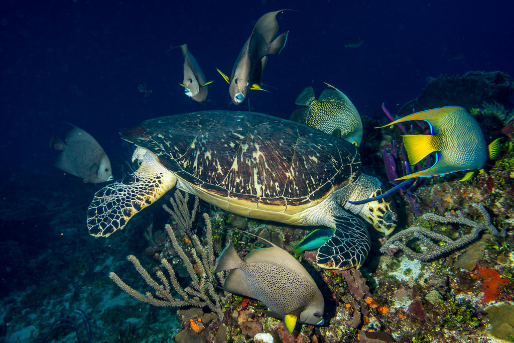 Hawksbill Turtle and Angelfishes (1)