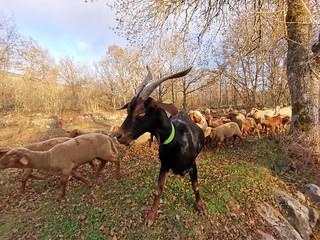 Chèvre et brebis col de Vence