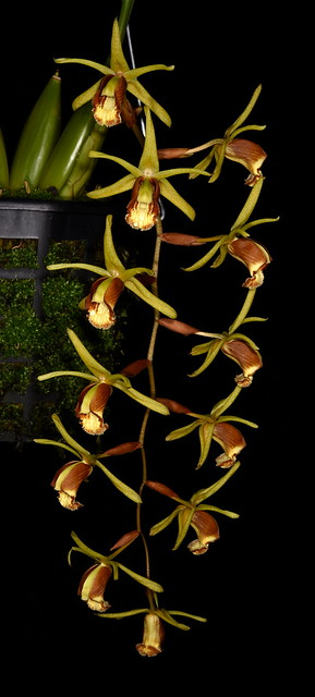 Coelogyne sumatrana - Cindy Hill