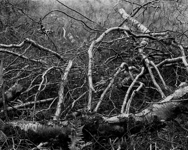 Hyons Wood, Walker Titan SF with Nikkor 210mm, Ilford Ortho Plus in HC110