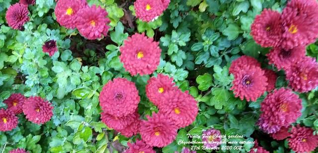 Trinity Free Church gardens - Chrysanthemum alongside main entrance 28th November 2020 002
