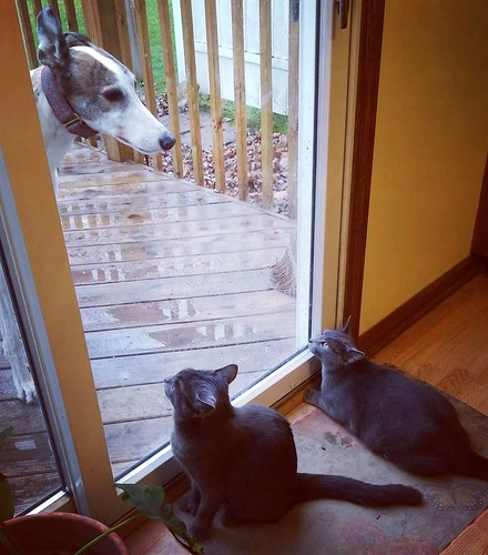 The Dee-oh-gee wanted back in. Remy and Rosa were not sold on this. #Cane #dogsofinstagram #greyhound #greyhoundsofinstagram #Remy #Rosa #catsofinstagram #graycat