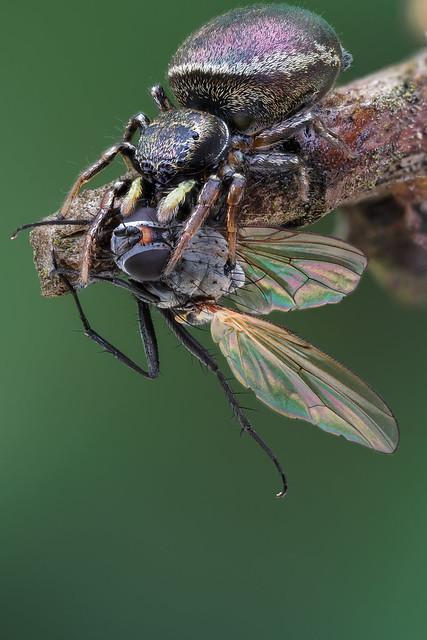 Heliophanus - Blinker