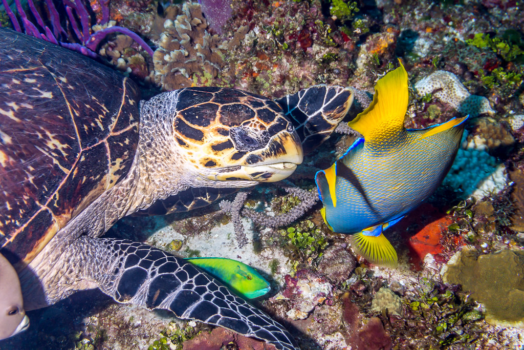 Hawksbill Turtle and Angelfishes (2)