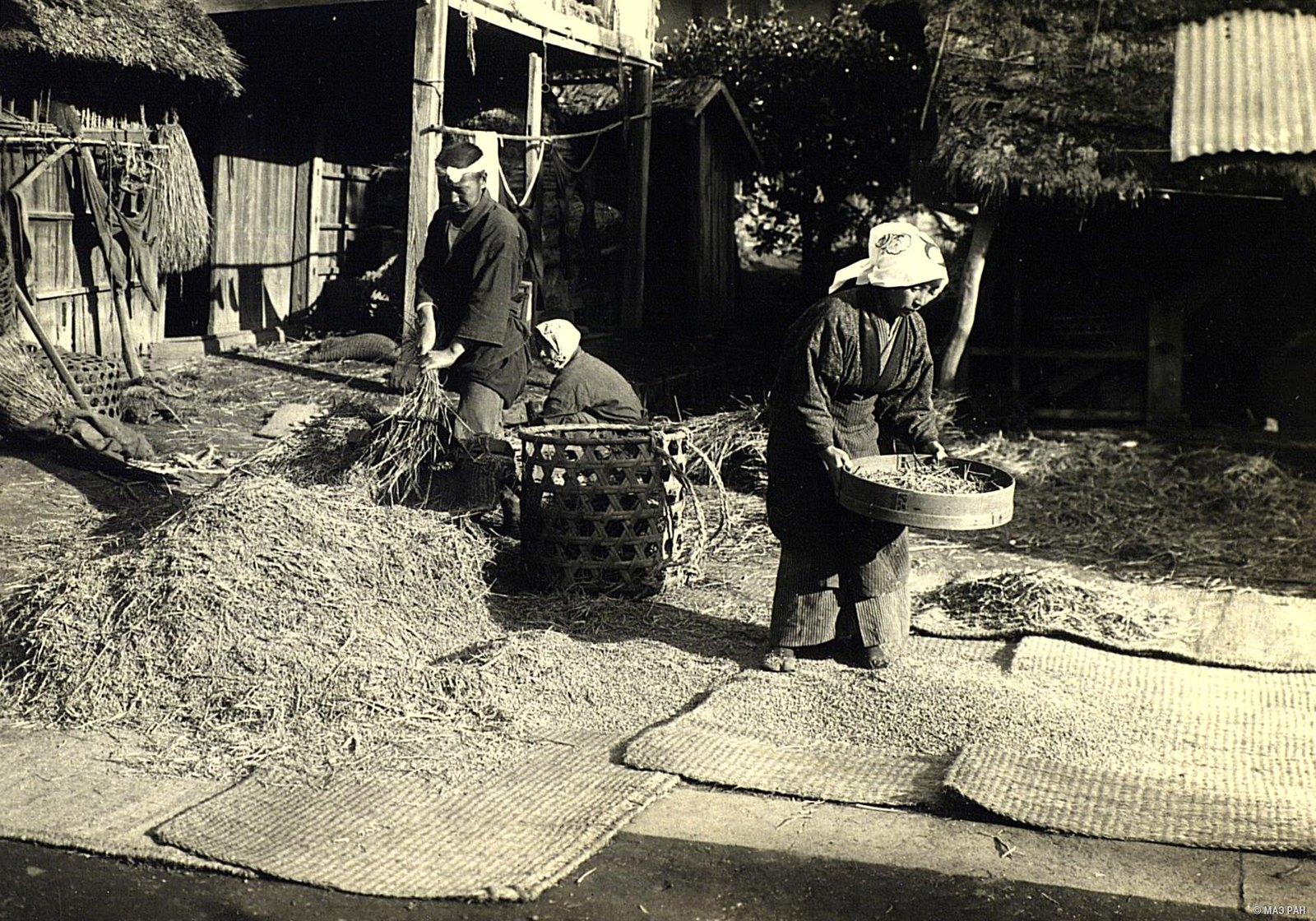 10. Просеивание зерна сквозь сито и отделение зерна от стеблей при помощи рисодерки