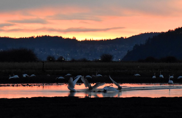 Trumpeter Swans at Sunset #2