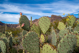 Engelmanns Prickly Pear Cactus in Organ Pipe National Monument in the Sonoran Desert of Southwest Arizona