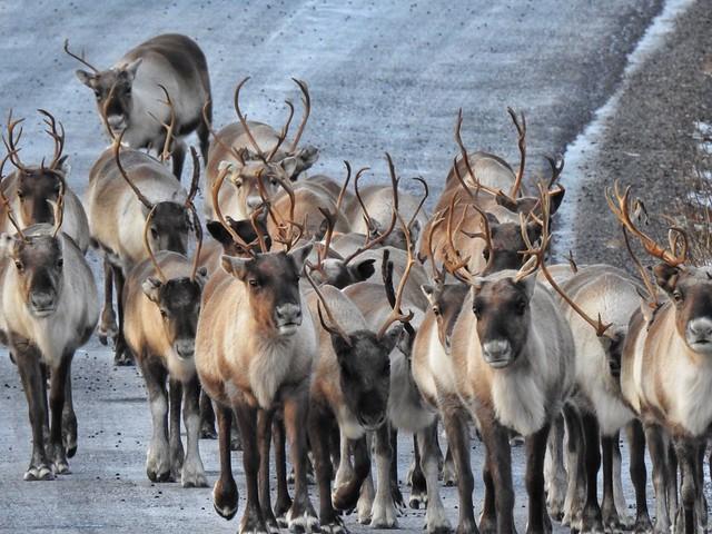 Manada de renos en Laponia Sueca