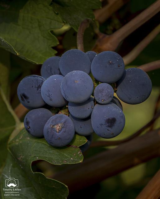 More Unpicked Wine Grapes