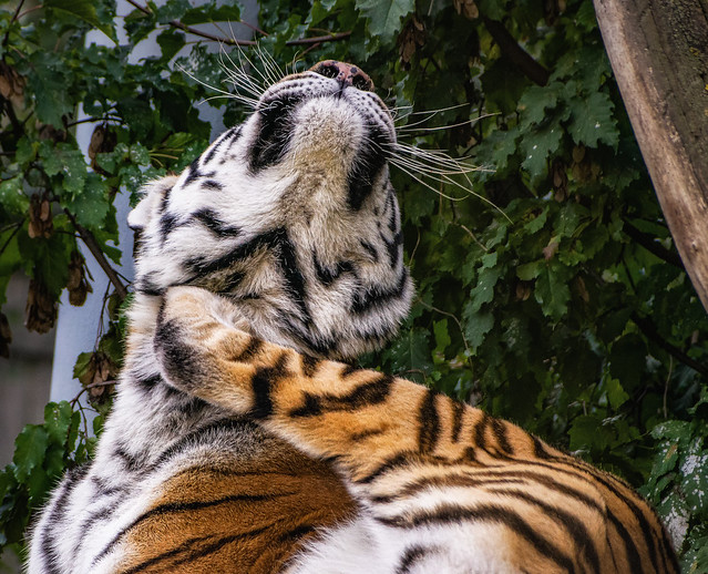 Scratchy Tiger