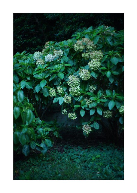 #SONY #ILCE7M2 #a7ii #Sonyimages #50mm #lomography #lomoartlens #newJupiter3 #単焦点 #iso800 #NDfilter #自然 #Nature #Naturephotography #botanical #botanicalphotography #botanicalart #玉ボケ #bokeh #Depthoffield #dof #Art #artphotography #Asia #Tokyo #Japan