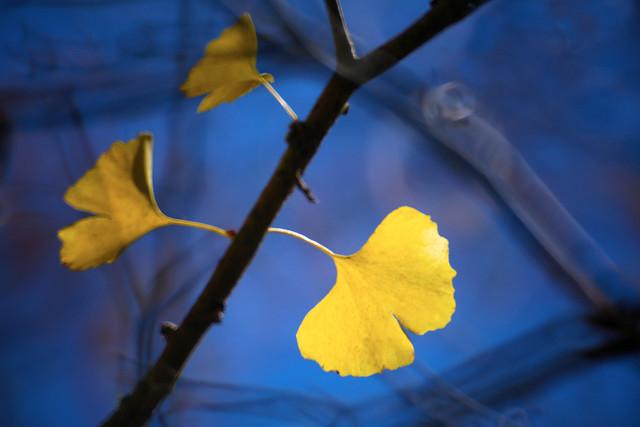 黃杏 / Yellow Ginkgo