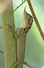 Rhino-horn Lizard