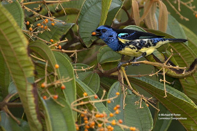 Turquoise Tanager