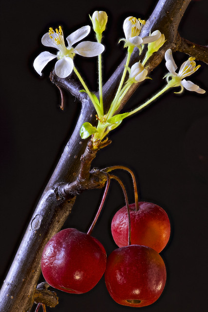 Flowering dwarf apple with fruits
