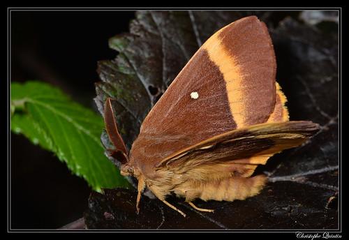 Bombyx du chêne (Lasiocampa quercus) mâle