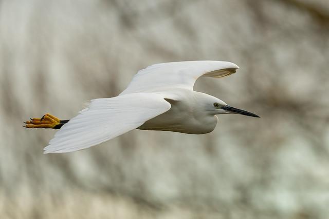 Little Egret.........