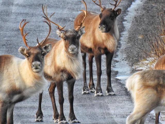 Renos en Laponia Sueca