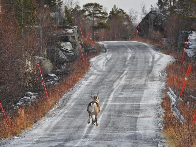 Reno corriendo por una carretera de Laponia Sueca