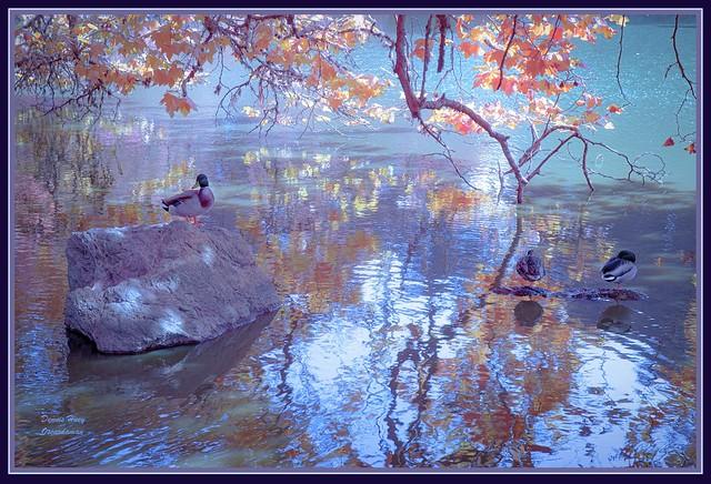 1314. A moment in San Francisco #535 -Golden Gate Park 77 -  Gate Park's Mallard Duck pond 21