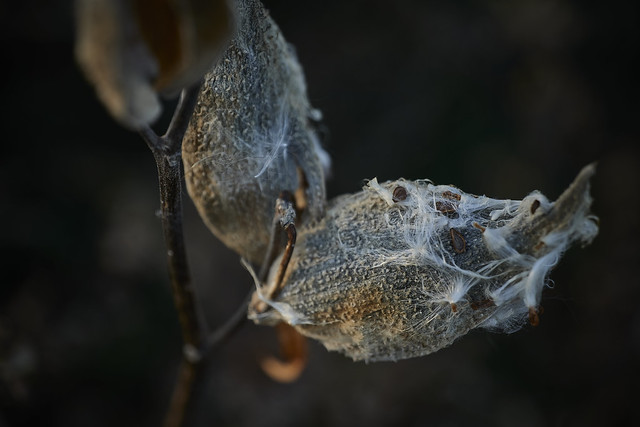 milkweed, in late afternoon, 10-16-20