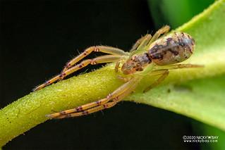 Crab spider (Lycopus rubropictus) - DSC_9788